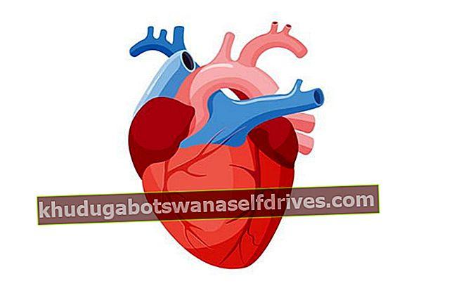 תמונה של הלב + הסבר על תפקוד הלב, איך זה עובד ומחלות לב
