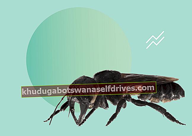 דבורת הענק נמצאה בעולם לאחר שנעלמה במשך 40 שנה